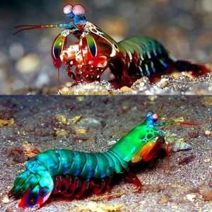 Mantisshrimp